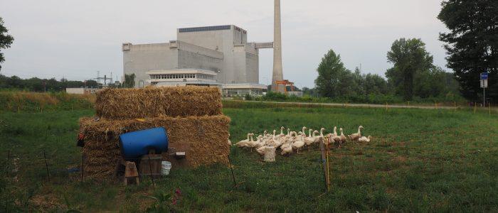 Eine Gänseschar vor dem legendären, nie in Betrieb genommenen Kernkraftwerk Zwentendorf an der Donau